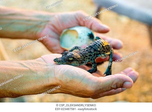 egg there cub is American crocodile