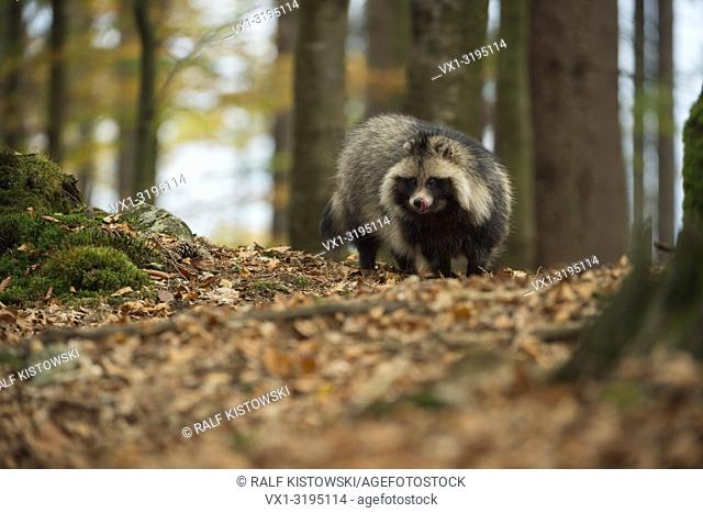 Raccoon dog (Nyctereutes procyonoides), adult animal, invasive species, stands in a forest, licking its tongue, looks eager, in autumn, Europe