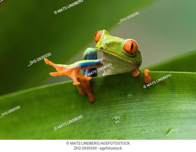 Red-eyed tree frog, Agalychnis callidryas, climbing on a leaf, looking in to the camera, Laguna del Lagarto, Boca Tapada, San Carlos, Costa Rica