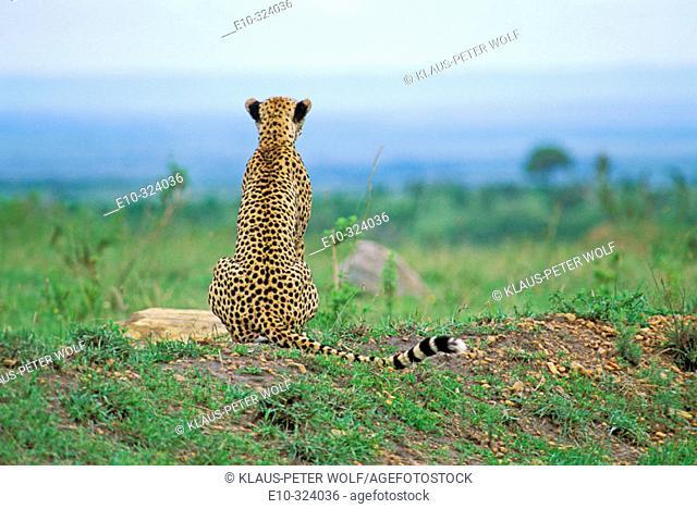Cheetah (Acinonyx jubatus) sitting on a small hill Masai Mara Kenya
