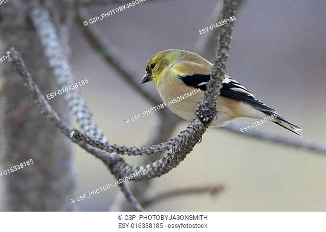 Pine Warbler on a pine tree branch