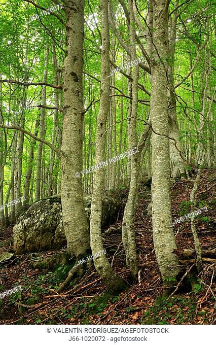 Bosque de hayas en el Pirineo. Parque nacional de Ordesa y Monte Perdido. Huesca