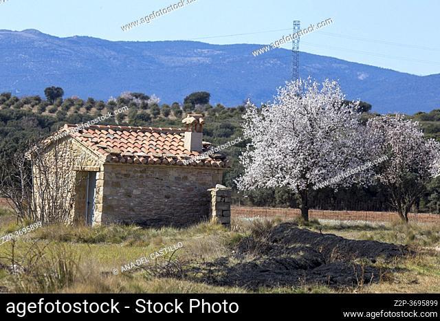 Almond tree flowers on branch blooming in Teruel plantations Aragon Spain