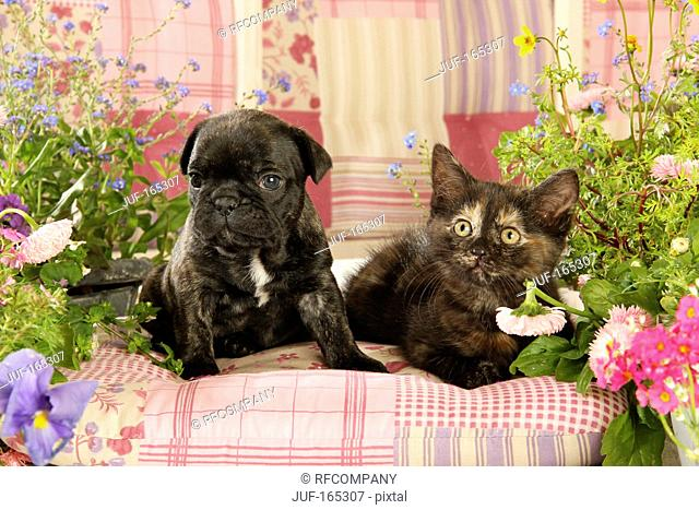 animal friendship : French Bulldog puppy and kitten