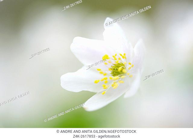 Wood Anemone (Anemone nemorosa), close-up with shallow depth of field, Netherlands