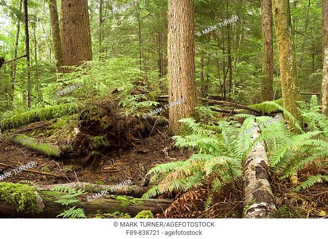 Hemlocks and ferns on nurse logs in Pacific Northwest forest
