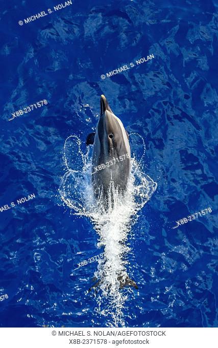 Adult striped dolphin, Stenella coeruleoalba, leaping near La Gomera, Canary Islands, Spain