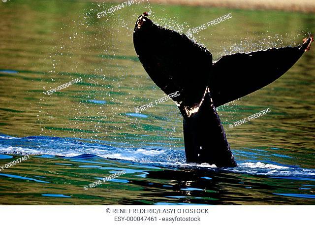 Humpback whale (Megaptera novaeangliae) surfacing. Alaska Inside Passage. Southeast Alaska