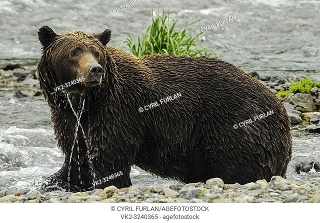 Female Grizzley Standing in water Katmai National Park