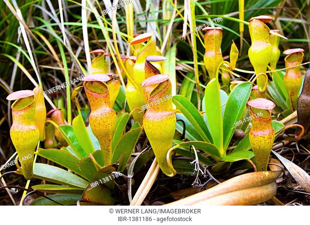 Endemic, carnivorous Pitcher Plant (Nepenthes pervillei), Mount Copolia, Morne Seychellois National Park, Mahe island, Seychelles, Africa, Indian Ocean