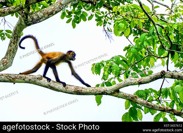 Juvenile Geoffroy's spider monkey (Ateles geoffroyi) in a treetop. Also known as the black-handed spider monkey, is a species of spider monkey