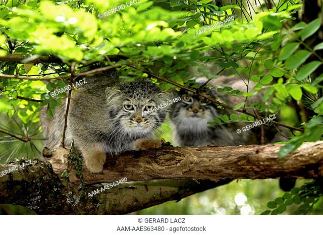 Manul Or Pallas's Cat (Otocolobus Manul) Pair On Branch Under Foliage  France