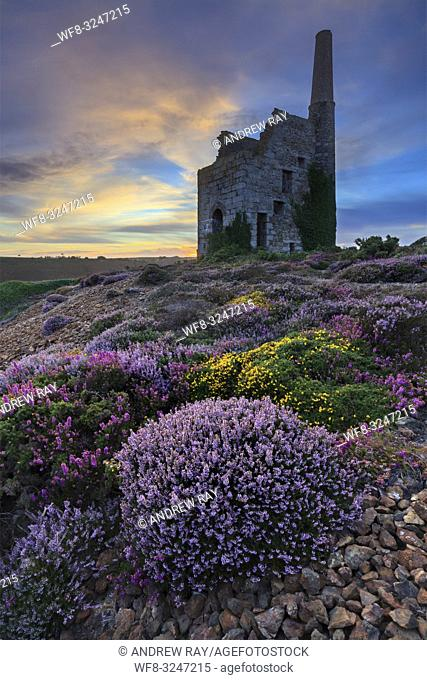 Tywarnhayle Engine House near Porthtowan in Cornwall, captured at sunset in late August when the heather was in bloom
