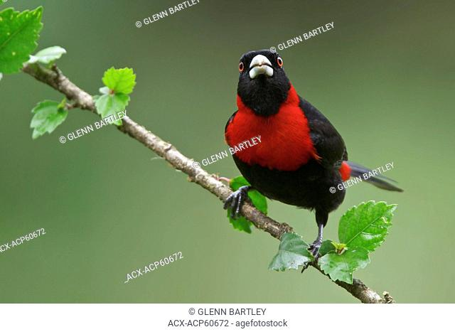 Crimson-collared Tanager Ramphocelus sanguinolentus perched on a branch in Costa Rica