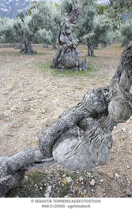 Olive trees near Deia, Majorca, Balearic Islands, Spain