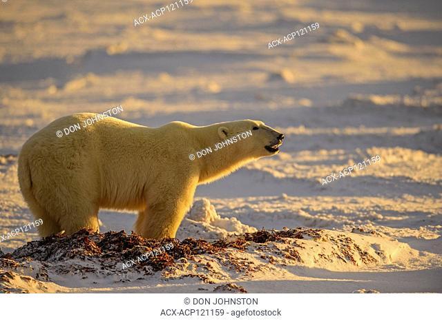 Polar Bear (Ursus maritimus) Excavating day bed in seaweed