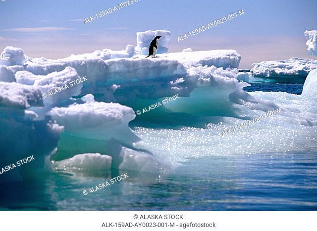 Adelie Penguin on Iceberg Antarctica
