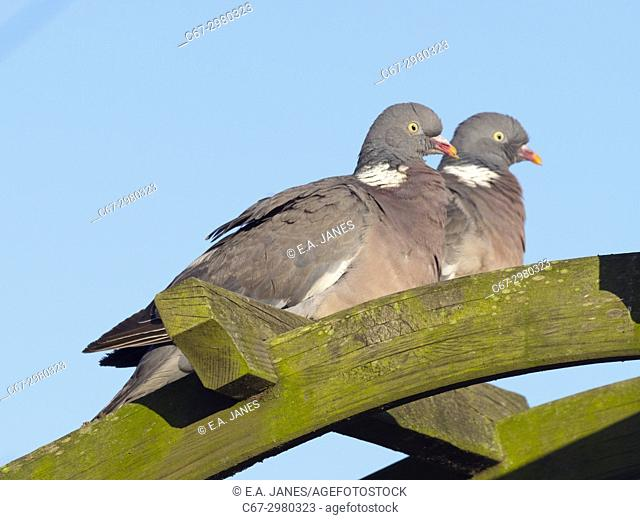 Wood Pigeons Columba palumbus male and female courtship preening display