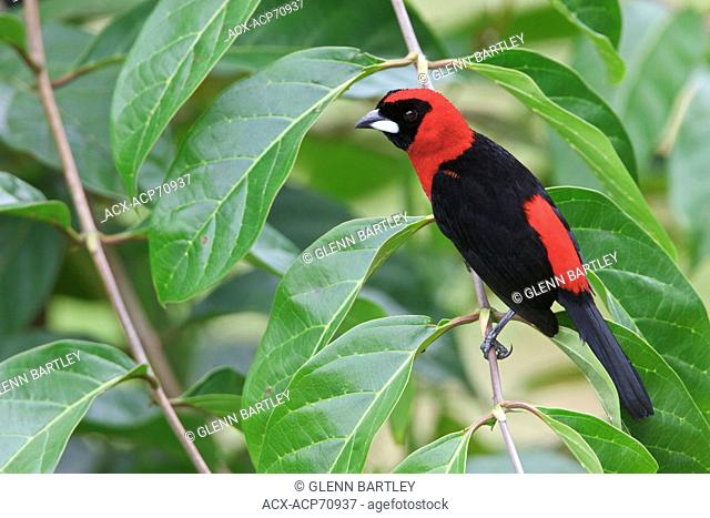 Masked Crimson Tanager (Ramphocelus nigrogularis) perched on a branch in Ecuador, South America