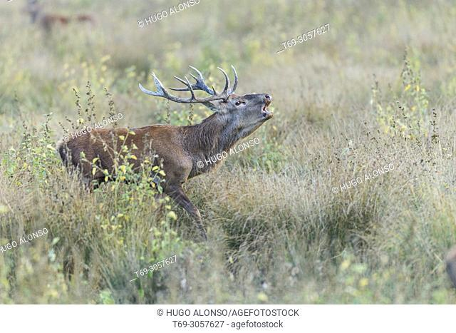 Male Red deer. Cervus elaphus. Alava. Spain