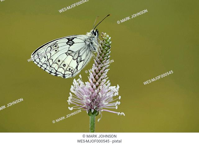 Marbled White, Melanargia galathea, on blossom