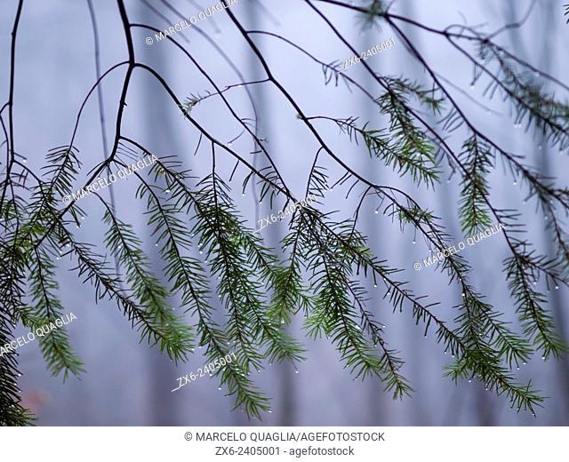 Raindrops at European silver fir tree branches (Abies alba). Montseny Natural Park. Barcelona province, Catalonia, Spain