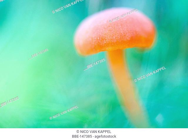 vermilion waxcap