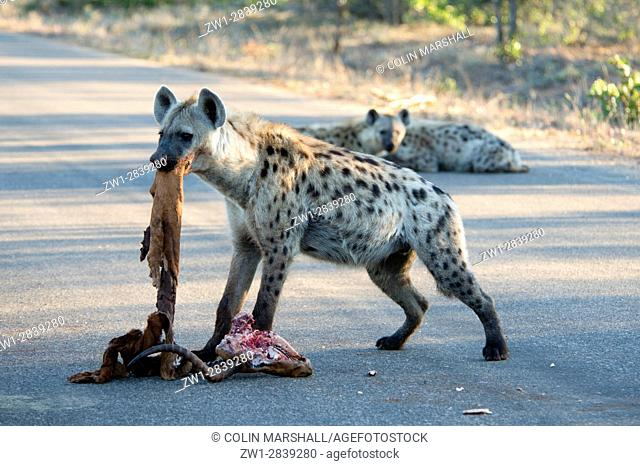 Spotted Hyena (Crocuta crocuta) aka Laughing Hyena on road with skull of antelope and with skin in mouth, Kruger National Park, Transvaal, South Africa
