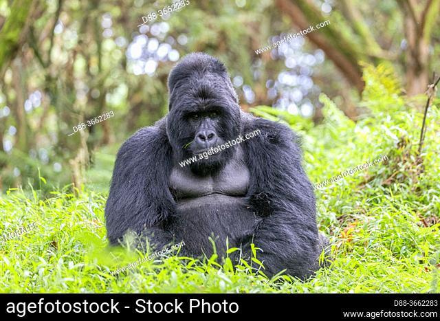 Africa, Uganda, Mgahinga, The Mgahinga Gorilla National Park in Uganda adjoins the Virunga National Park in the Democratic Republic of the Congo and the...