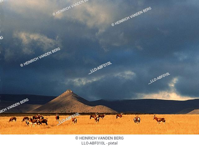 Blesbok Damiliscus dorcas phillipsi Herd on Open Karoo Landscape  Karoo National Park, Western Cape Province, South Africa