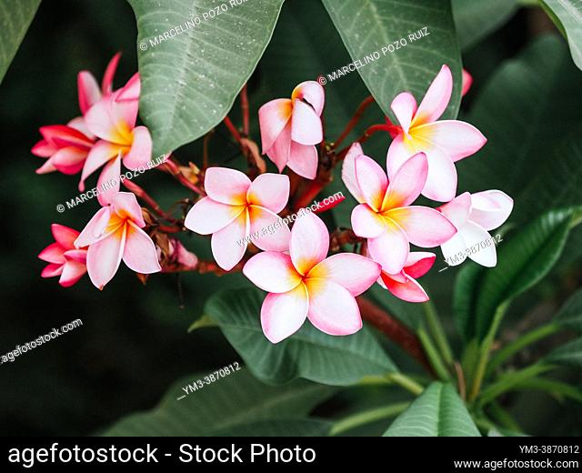 Set of pink plumaria flowers on tree branch