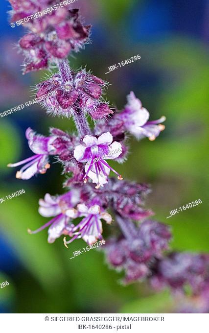 Ararat-Basil (Ocimum basilicum), violet flowers