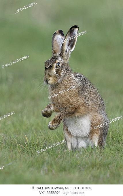 Brown Hare / European Hare / Feldhase ( Lepus europaeus ) sitting on hind legs, shadow boxing with front paws, wildlife, Europe