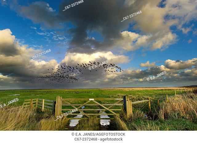 Brent Geese Branta bernicla in flight Cley marshes Norfolk UK Winter