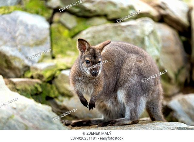 Closeup of a Red-necked Wallaby kangaroo (Macropus rufogriseus) Female with hidden baby in bag