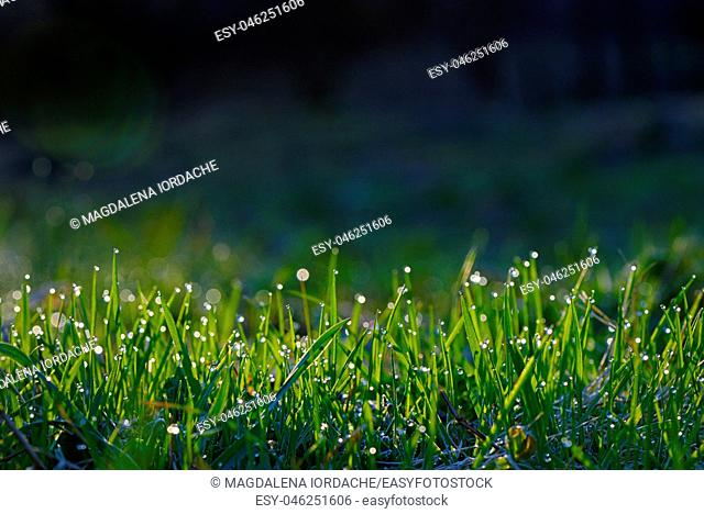 Fresh grass on field with dew drops at sunrise