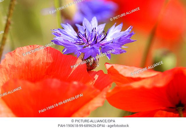 17 June 2019, Mecklenburg-Western Pomerania, Bad Doberan: Red poppy and blue cornflowers also grow in a field with barley