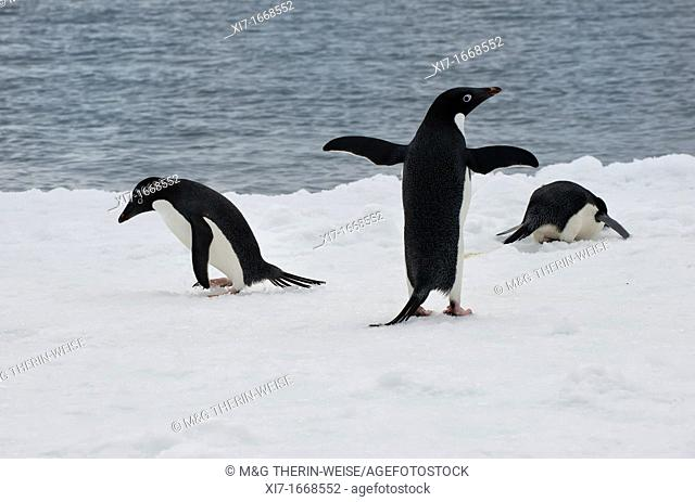Group of Adelie penguins Pygoscelis adeliae on an iceberg, Paulet Island, Erebus and Terror Gulf, Antarctic peninsula