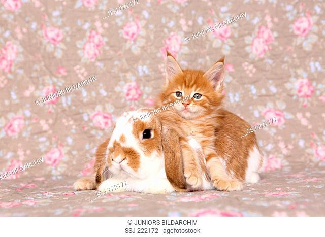 American Longhair, Maine Coon. Kitten (6 weeks old) and Dwarf lop-eared rabbit, seen against a floral design wallpaper