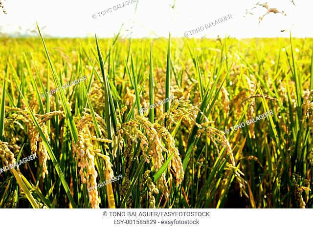 Cereal rice fields with ripe spikes focus on foreground in Valencia Spain