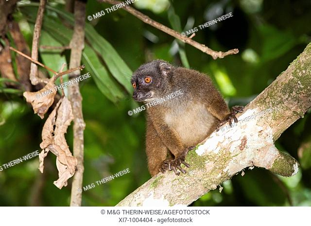 White-fronted Brown Lemur also known as White-headed Lemur or White-fronted lemur Eulemur albifrons female, Madagascar Lémur à front blanc Eulemur albifrons...