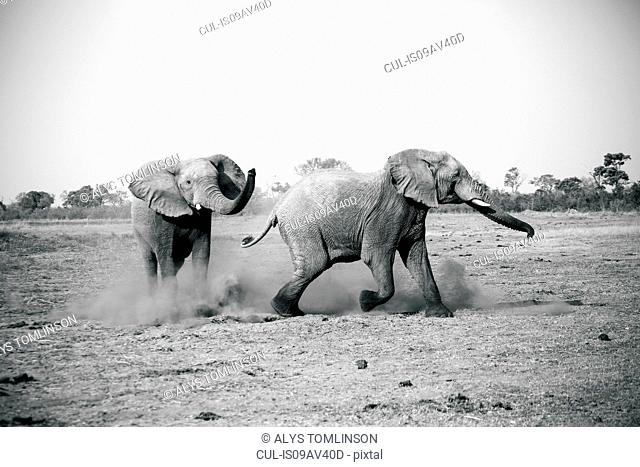 Elephants playing, Kruger National Park, South Africa