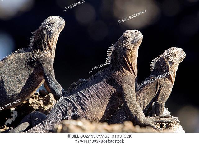 Marine Iguanas - Islote Tintoreras - near Isabela Island, Galapagos Islands, Ecuador