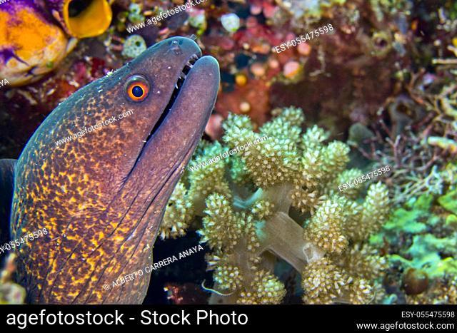 Giant Moray, Moray Eel, Gymnothorax javanicus, Bunaken National Marine Park, Bunaken, North Sulawesi, Indonesia, Asia