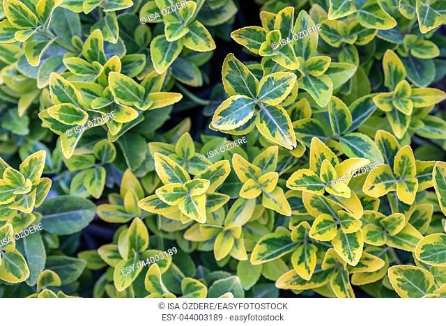 Top view of green and gold color Euonymus fortunei, yellow and green leaves of euonymus fortunei in plastic pots for sale