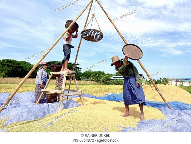 MMR , MYANMAR / BURMA / BIRMA : Farmers drying rice near Yangon / Rangoon , 08.11.2015 - Sarmalaud, Ayeyarwady Division, Myanmar, 08/11/2015