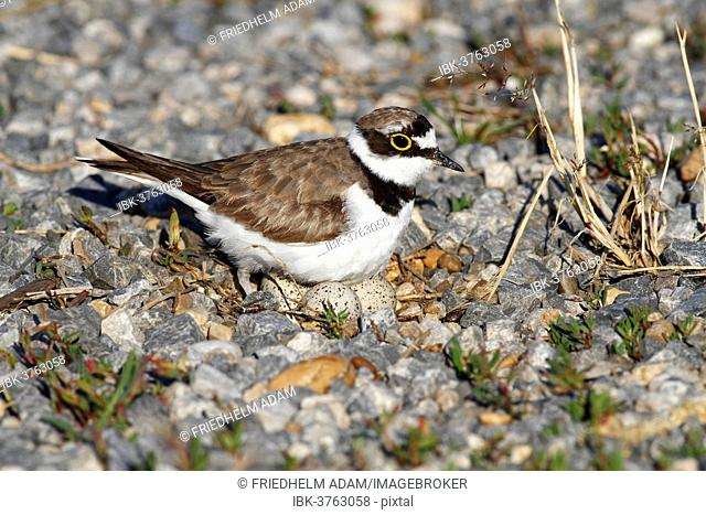 Ringed Plover (Charadrius dubius) perched on nest with eggs, Burgenland, Austria