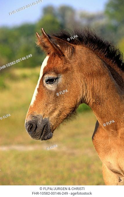 Camargue Horse, foal, close-up of head, Saintes Marie de la Mer, Camargue, Bouches du Rhone, France