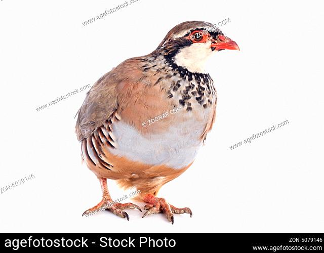 Red-legged or French Partridge, Alectoris rufa in front of white background