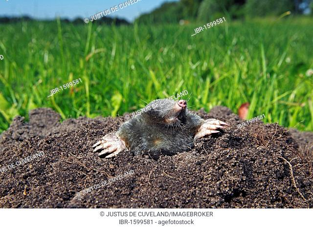 European Mole, Common Mole or Northern Mole (Talpa europaea) in a molehill on a green meadow